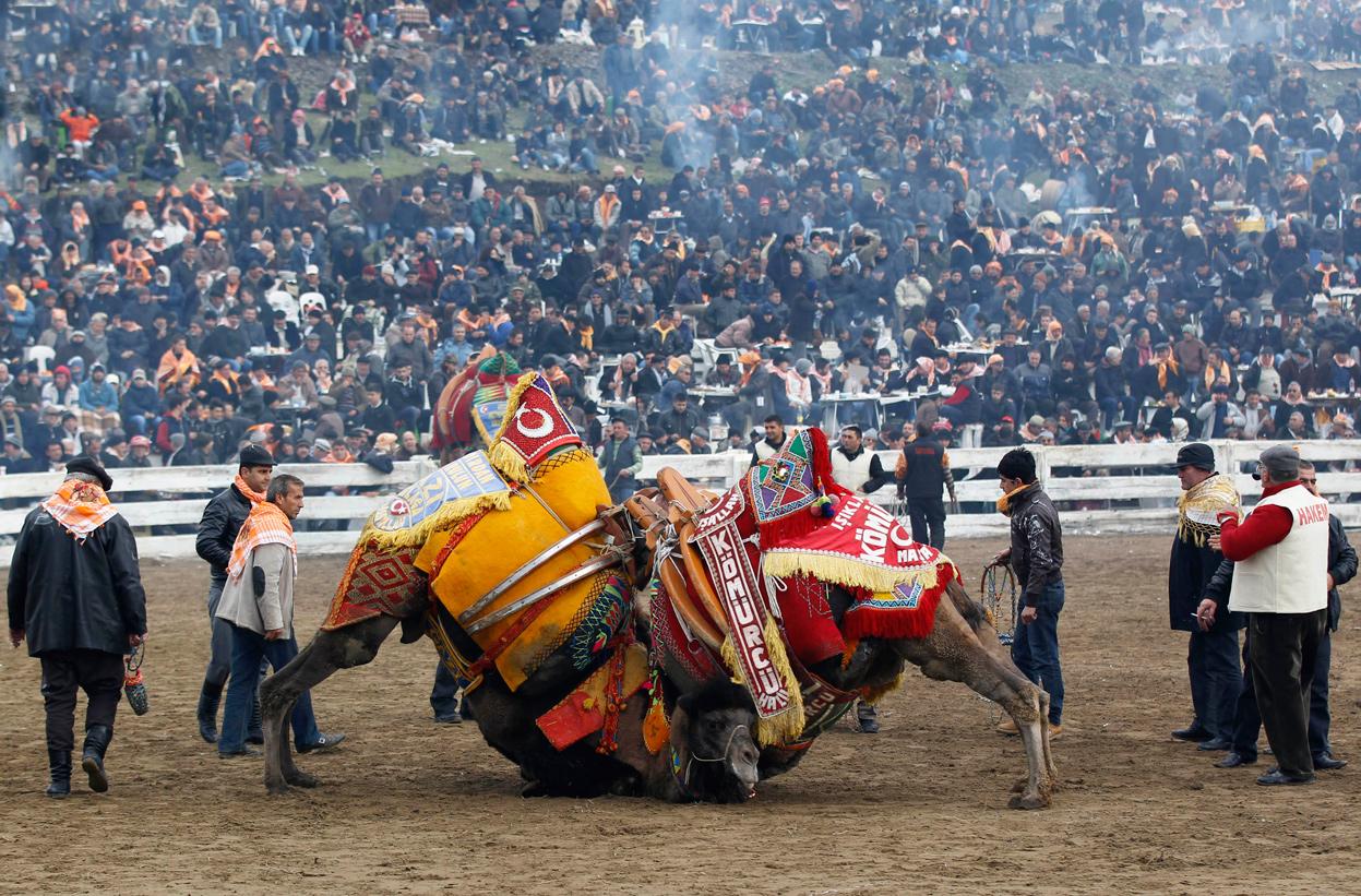 Шампионат по борба на камили. Турция.