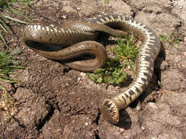 мъртва змия