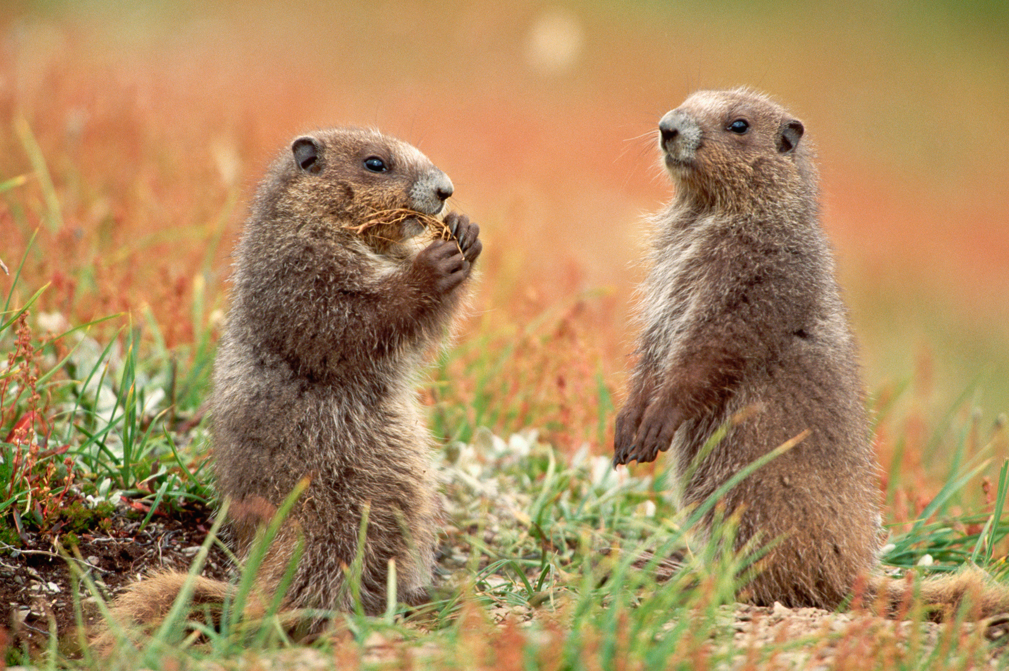 Young Olympic Marmots Standing in the Grass