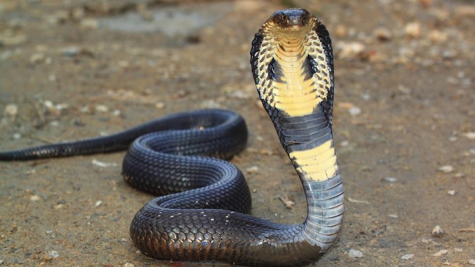 Кобрите не са никак малки змии.