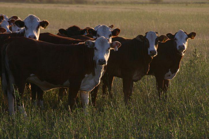 cows-1233889_960_720