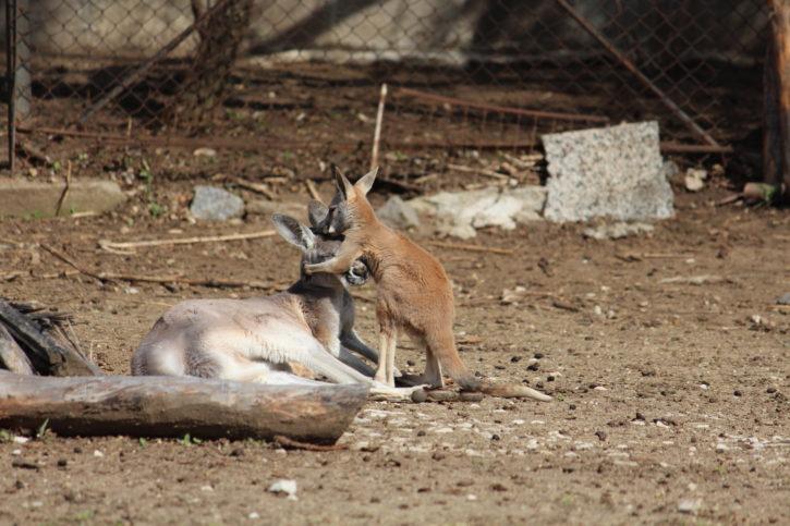 кенгуру зоопарк София
