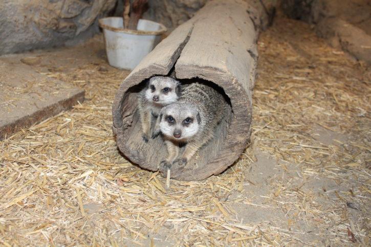 Сурикати - Софийския зоопарк