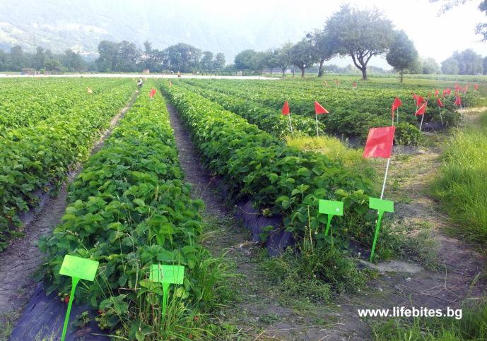 набери си ягоди в Швейцария