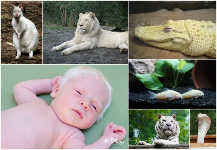 албиноси