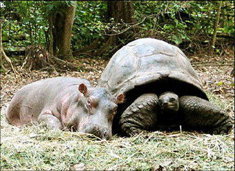 костенурка хипопотам