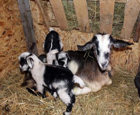 кози във Фермата