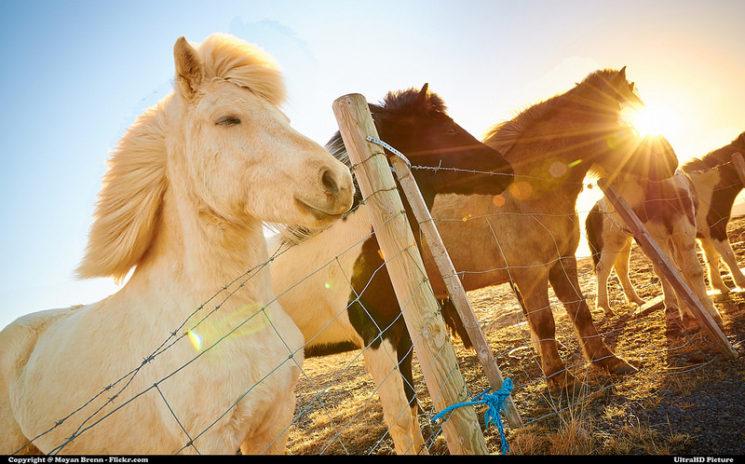 коне в Исландия