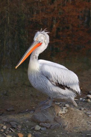 Къдроглавият пеликан е световно застрашен вид. Снимка: Уикипедия