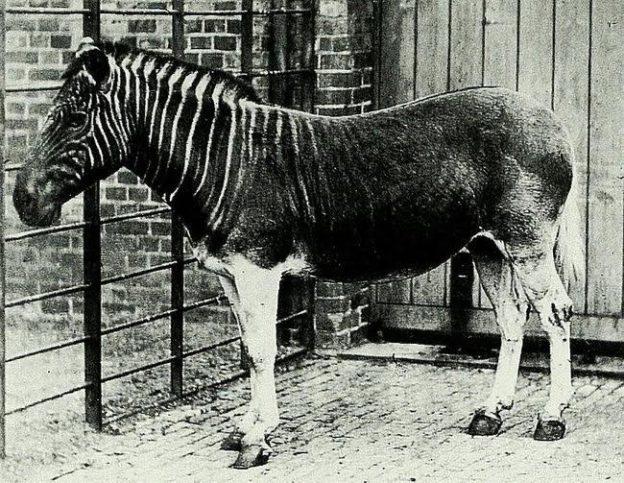 вид зебра