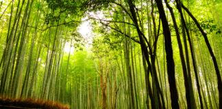 бамбуковата гора Сагано