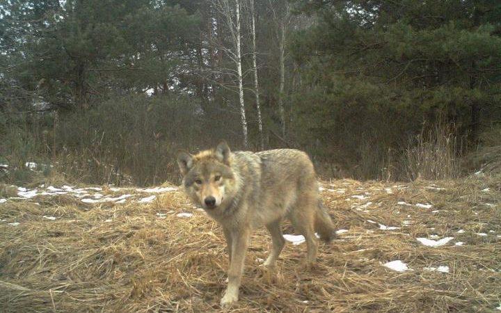 Чернобил - вълк