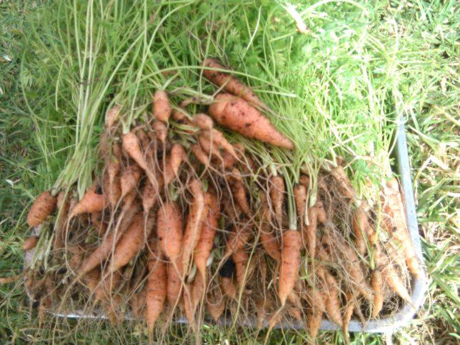 градинар, моркови