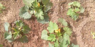 градинар, тиквички