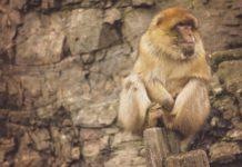 маймуна - хората