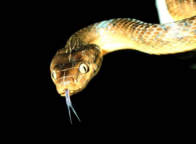 кафява дървесна змия