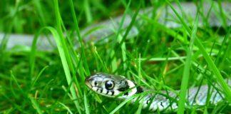 къде няма змии