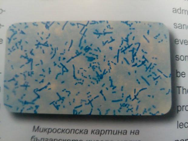 Българската бактерия, видяна под микроскоп