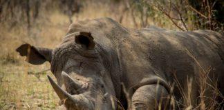 носорозите