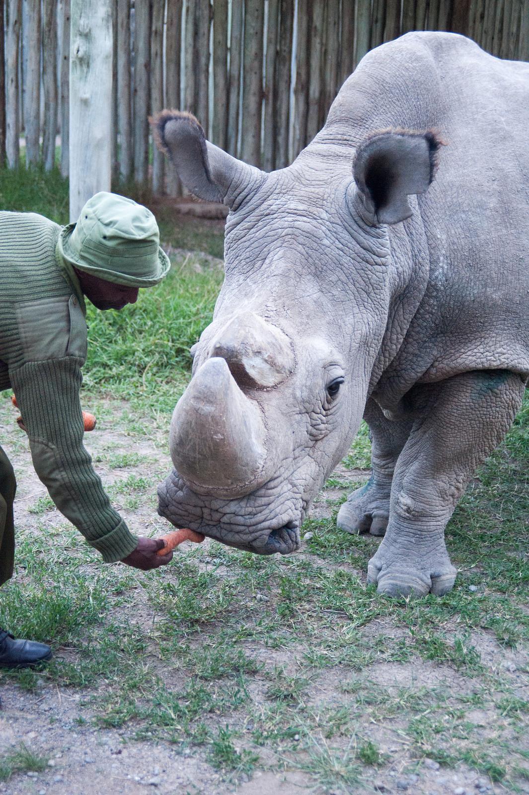 Последния мъжки - носорогът Судан, последният северен бял носорог.