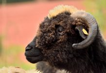 черната овца