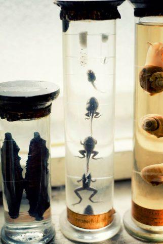 препарирани жаби