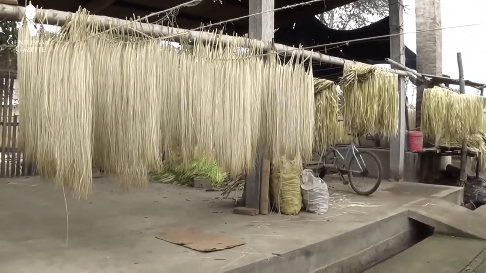 Сушене на вбакна от палма токила, използвани за оплитането на панамените шапки.
