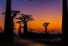 Алеята на баобабите