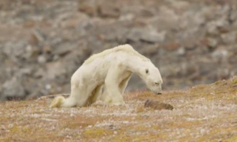изчезващи видове гладуваща полярна мечка
