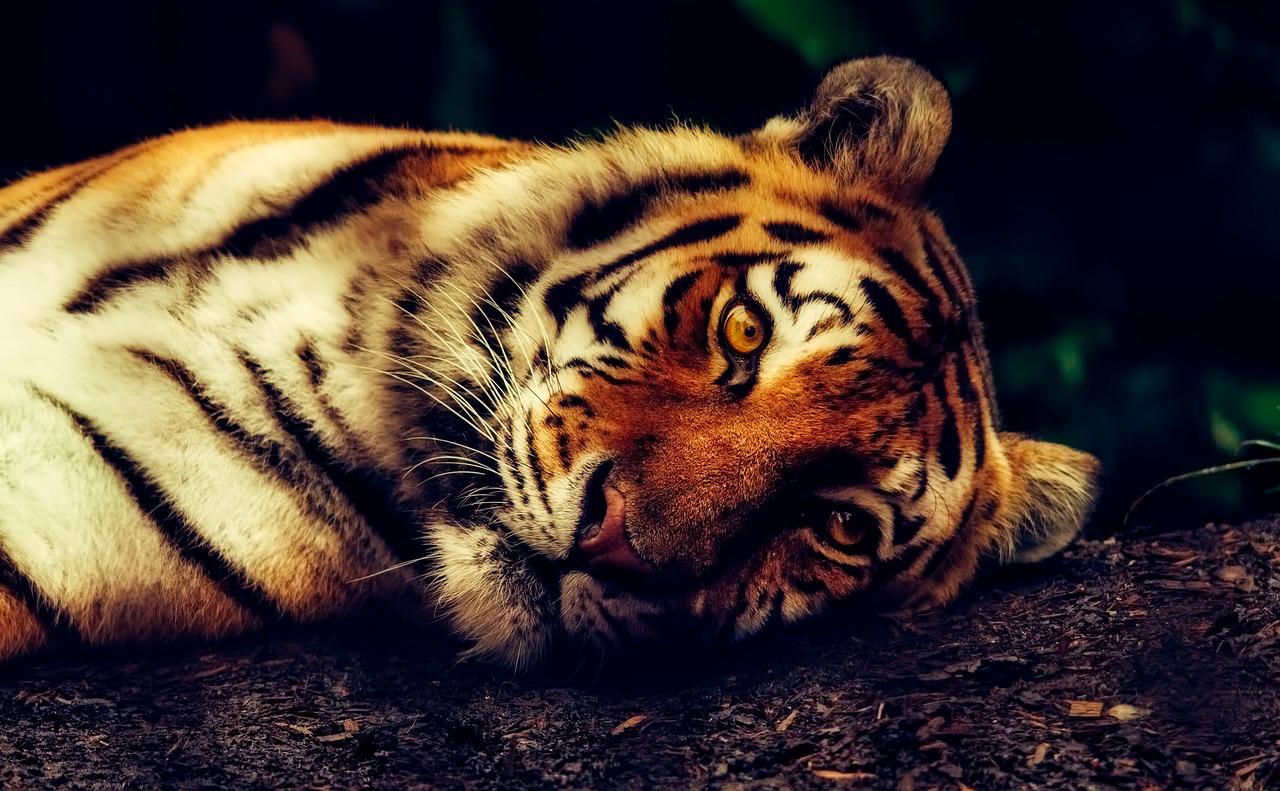 тигър изчезващи видове