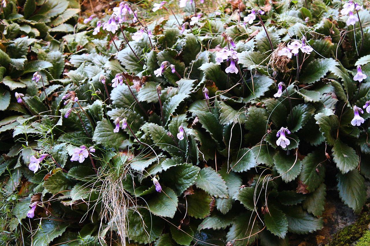силивряк орфеево цвете