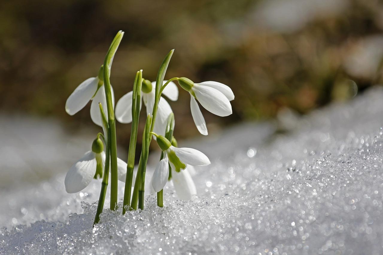 кокичета в снега месец март