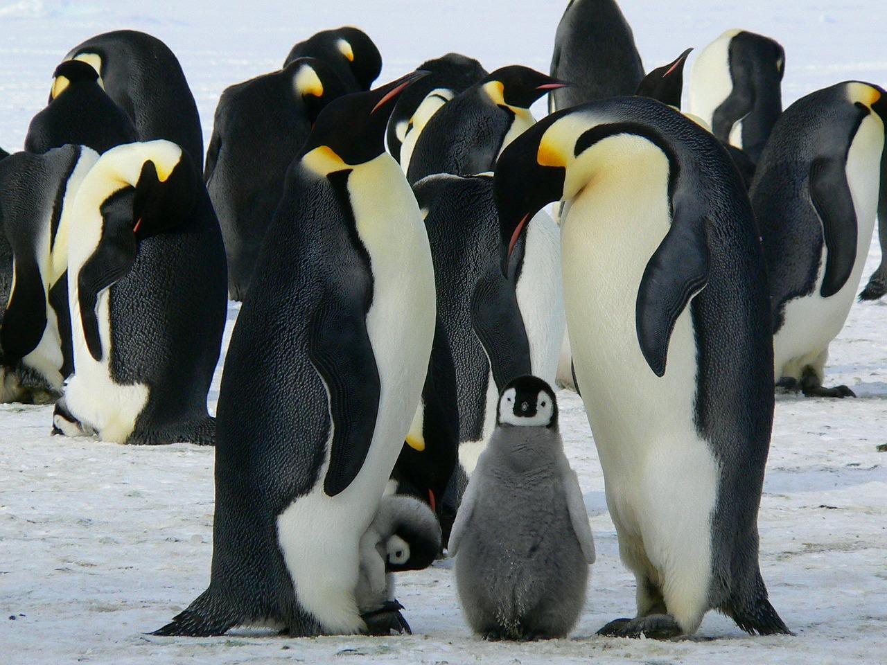 Императорски пингвин